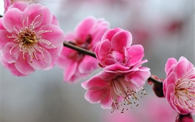 Pink plum flowers, twigs, spring HD wallpaper