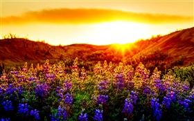 Purple flowers, sunset HD wallpaper