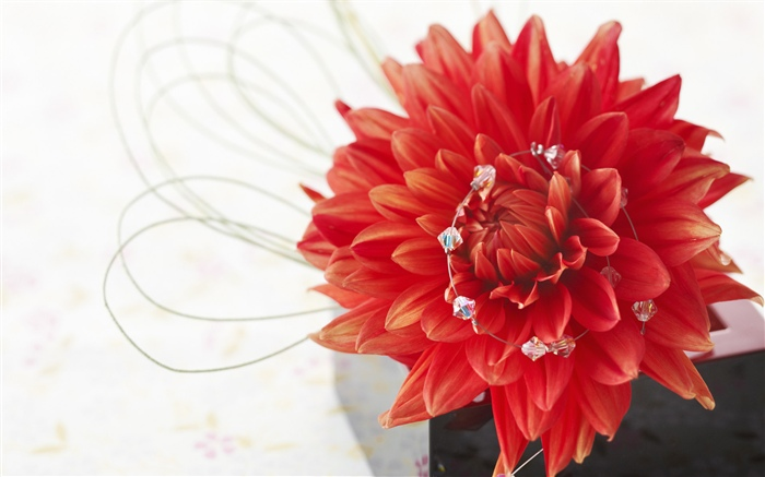 Red dahlia, petals, white background Wallpapers Pictures Photos Images