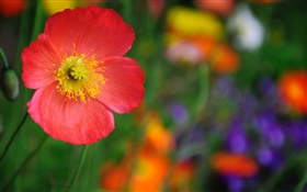 Red poppy flower, petals