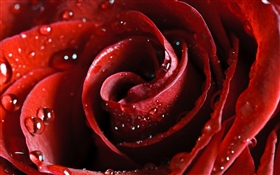 Red rose, petals, water droplets HD wallpaper