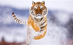 Tiger running, snow, winter HD wallpaper