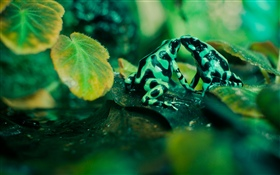 Two frogs, leaves HD wallpaper