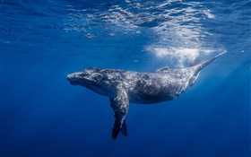 Whale, underwater HD wallpaper