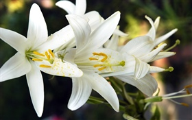 White lily flowers HD wallpaper