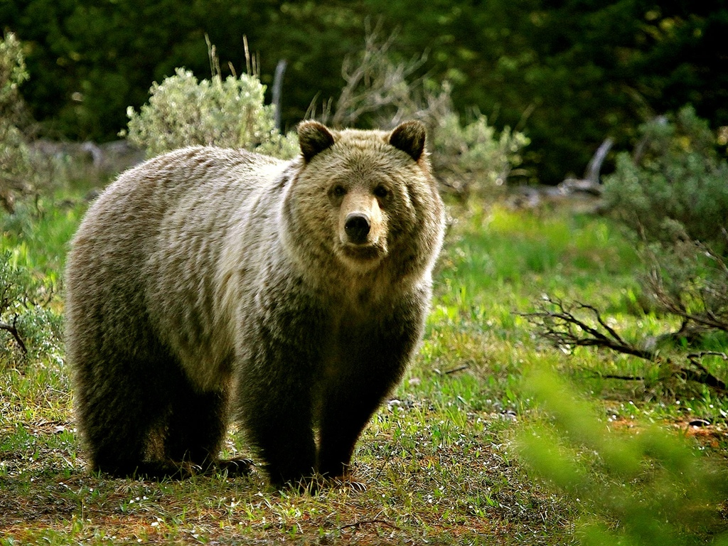 Wildlife, bear 1024x768 wallpaper