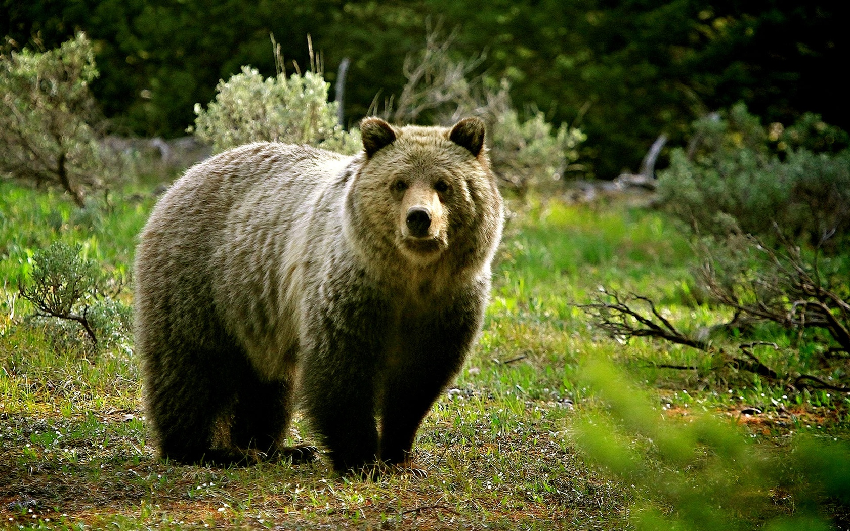 Wildlife, bear 1680x1050 wallpaper